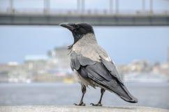 Krähe auf der Bank der Ufergegend stockfotografie