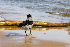 Krähe auf der Küste Lizenzfreie Stockbilder