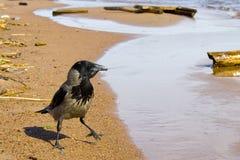 Krähe auf der Küste Lizenzfreie Stockfotos