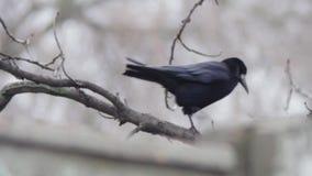 Krähe auf einem Baum stock footage