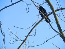 Krähe auf einem Baum Stockfoto