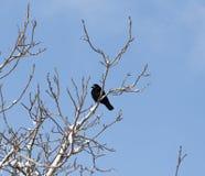 Krähe auf einem Baum im Winter Lizenzfreies Stockfoto