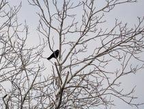 Krähe auf einem Baum im Winter Stockfotos