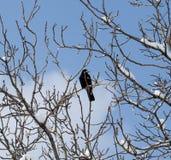 Krähe auf einem Baum im Winter Lizenzfreie Stockfotografie