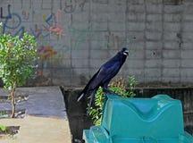 Krähe auf einem Mülleimer in Thailand Stockbild