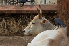 Krähe auf einer Kuh Eine typische indische Szene Lizenzfreies Stockfoto