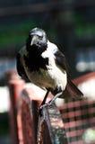 Krähe auf Metallzäunen Stockfotografie