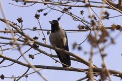Krähe auf Niederlassung im Wald Lizenzfreie Stockbilder
