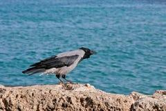 Krähe an der Küste Stockfotografie