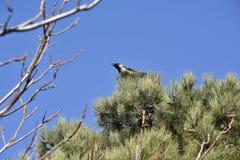 Krähe, die auf Baum singt Stockbilder