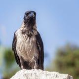 Krähe, die auf dem Stein auf dem unscharfen Hintergrund des blauen Himmels sitzt Stockfoto