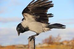 Krähe, die auf einem Pfosten mit seinen Flügeln ausgestreckt sitzt Stockfotos