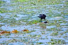 Krähe, die eine Krabbe während der Ebbe in Bainbridge-Insel Eagle Harbor isst Stockfotos