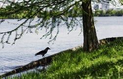 Krähe durch Herastrau See Stockfotografie