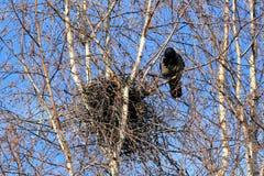 Krähe an einem Nest Stockfotografie