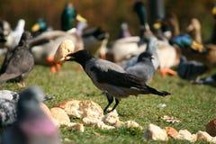 Krähe essen - Corvus cornix Stockfotografie