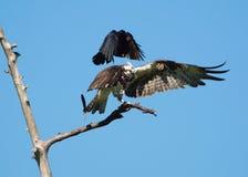 Krähe gegen Fischadler lizenzfreies stockbild
