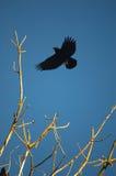 Krähe im Flug stockfoto