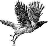 Krähe im Flug Lizenzfreies Stockfoto