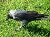 Krähe im Gras Lizenzfreies Stockbild