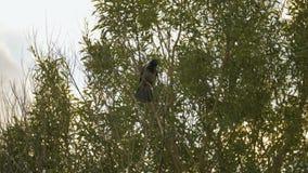 Krähe pickt eine Niederlassung auf dem Baum - slowmo 180 fps stock video