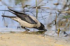 Krähe trinkt Wasser lizenzfreie stockfotografie