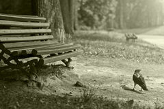 Krähe am Weg im Park Stockbild