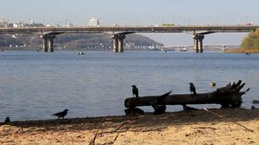 Krähen auf dem Damm des Flusses stock footage