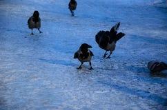 Krähen auf einem Boden im Stadtpark Stockbilder