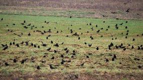 Krähen auf Feld Stockbild