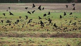 Krähen auf Feld Lizenzfreie Stockbilder