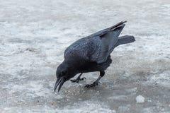 Krähen, die im Schnee herumsuchen stockbild