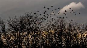 Krähen fliegen über die bloßen Bäume bei Sonnenuntergang stockfoto
