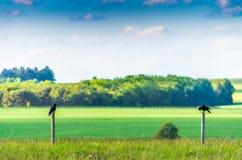 Krähen gehockt auf einem Bretterzaun Lizenzfreie Stockbilder