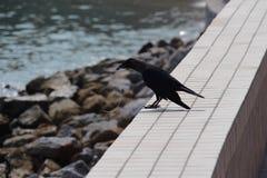 Krähen Sie mit Schnur im Schnabel an der Küste Georgetown Malaysia Lizenzfreies Stockfoto