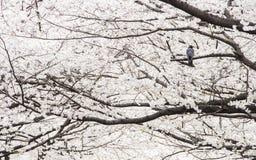 Krähe, die auf Kirschblüte-Baum steht Lizenzfreie Stockfotos
