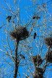 Krähen und Krähe ` s nistet auf Bäumen Lizenzfreie Stockbilder