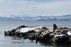Krähenkolonie-Stellerscher Seelöwe oder Nordseelöwe Es ist eine Bucht des Pazifischen Ozeans auf der südöstlichen Küste der Halbi Stockfoto