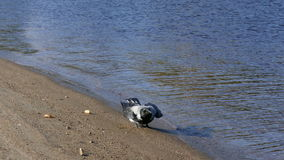 Krähensuchlebensmittel auf sandigem Flussuferstrand stock footage