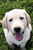 kräm- engelsk guld- labrador retriever Royaltyfri Fotografi