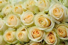 Kräm-färgade rosor royaltyfria bilder