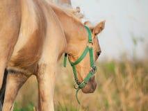 Kräm- föl för welsh ponny i fältet. Arkivfoton