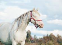 Kräm- fördämning för welsh ponny i fältet Royaltyfria Foton