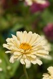 Kräm- flora Fotografering för Bildbyråer