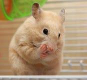 kräm- hamster Arkivfoto