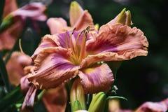 Kräm- rosa färger för lilja Royaltyfri Foto