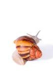 Kräm- snigel på isolerad vit bakgrund arkivfoto