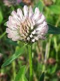 Kräm- växt av släktet Trifoliumblomma Fotografering för Bildbyråer