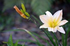 Krämig blomma, Polen Royaltyfri Bild