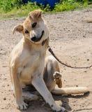 Krämig hund som skrapar en klåda Royaltyfri Bild